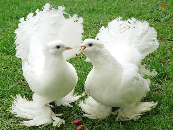 ferguri de porumbei